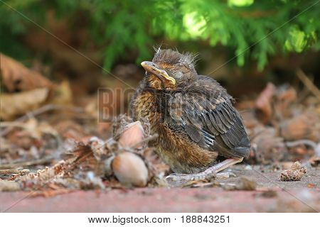 Blackbird fledgling sittin on the ground,