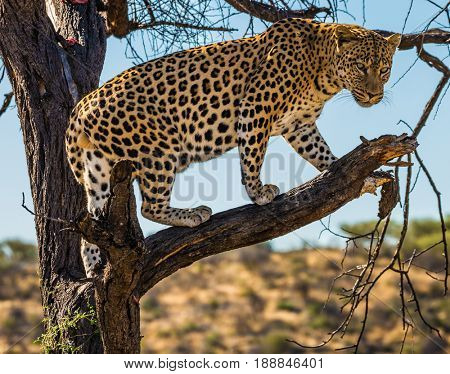 The concept of exotic and extreme tourism. Spotted african leopard climbed a tree. The pieces of meat for him are laid out on the branches. Travel to Namibia. Leopard feeding