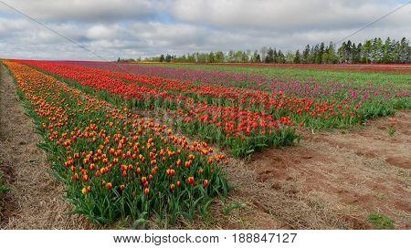 Fields of tulips in full bloom.