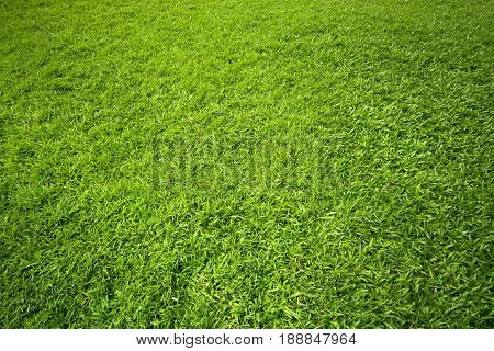 Green grass on the ground for background. Abstract background.