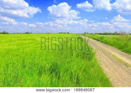 green wheat field