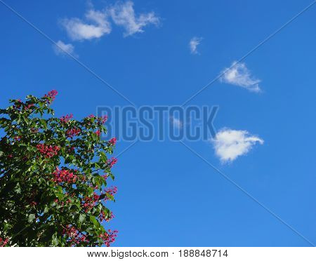 A branch of flowering chestnuts against the blue sky. Clouds, rare colored flowers - crimson color. Place for the text.