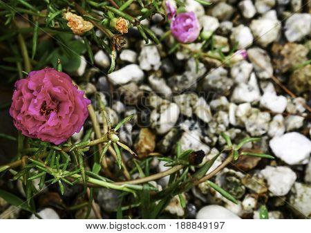 Rosemoss blooming in the gravel garden backgronds