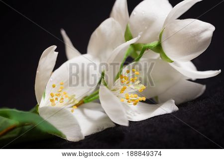 Jasmine Branch With White Flowers
