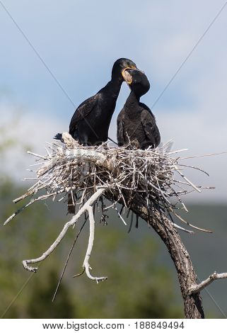 Double-crested cormorant is regurgitating a fish for it's chick.