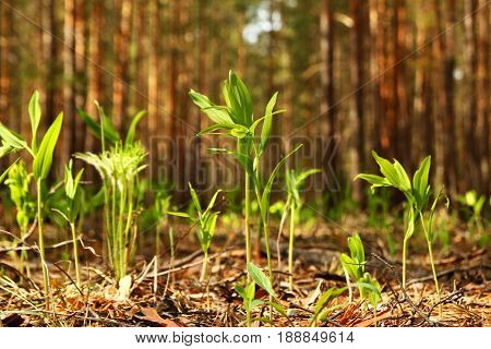 Russia Siberia. The young fresh green grass in a forest.