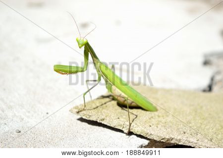 Big green mantis standing on the flat stone on the ground