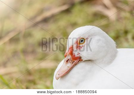 Close up of white duck near a lake blurred background.