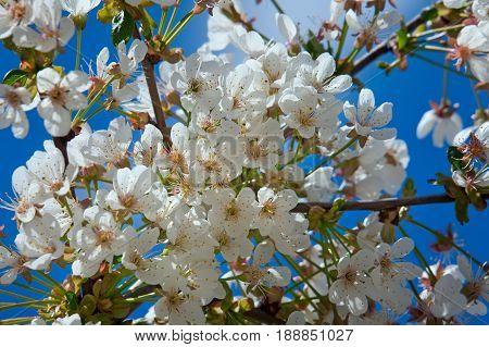 Cherry flower in april against the blue sky.