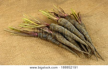 Freshly harvested and rinsed purple baby carrots on burlap