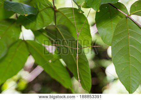 Siam Giant Stick Insect (tirachoidea Siamensis)