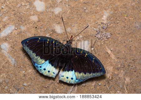 Male Common Archduke (lexias Pardalis) Butterfly