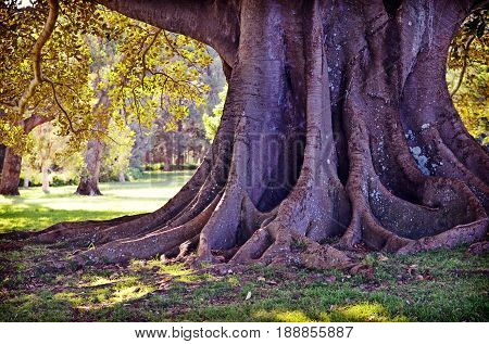 Giant sturdy roots and trunk of a Moreton Bay Fig Tree in Centennial Park, Sydney, NSW, Australia