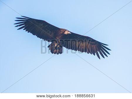 Circling Back-withened Vulture Over The Savannah At Hlane Royal National Park, Swaziland