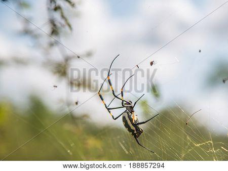 Banded-legged Golden Orb-web Spider Female In Its Net At Hlane Royal National Park, Swaziland