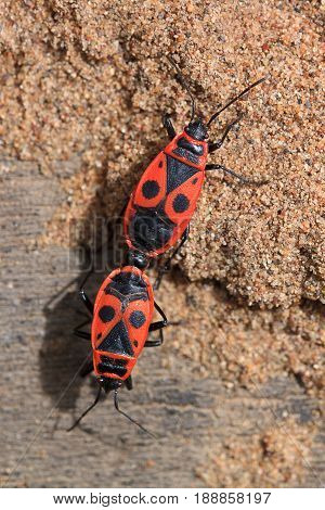 Coupling of two red soldier bug. Animals wildlife.