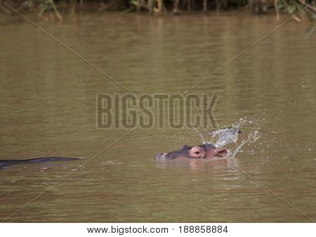 Hippopotamus Baby In The Water At The  Isimangaliso Wetland Park, South Africa