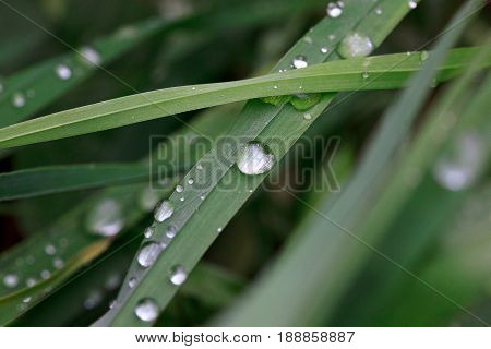Green sappy grass after rain with dew drops. Beautiful in nature.