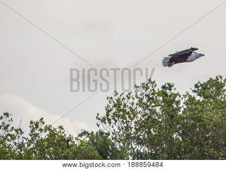 African Fish Eagle In The Air  At The  Isimangaliso Wetland Park, South Africa