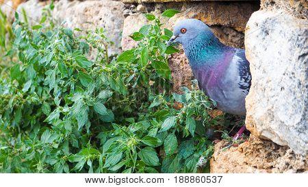 Pigeon hides in the gap of rock