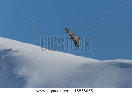 Flying Juvenile Bearded Vulture (gypaetus Barbatus) With Mountains, Blue Sky And Snow