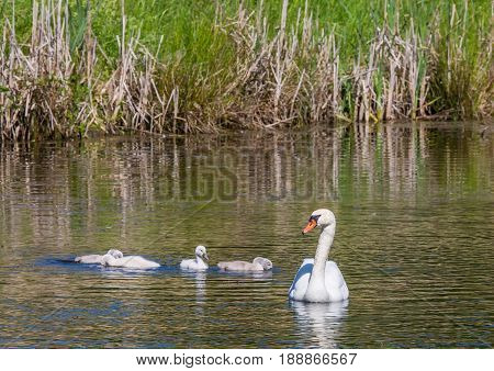 Two Week Old Mute Swan Babies Swimming Together With Their Parents On A Pond In The District Of Buec