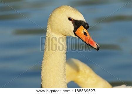 beautiful mute swan portrait over blue out of focus portrait ( Cygnus olor )