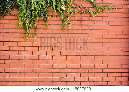 Ivy on a brick wall. Ivy twists a brick wall. Ivy bricked fence. Urban background.