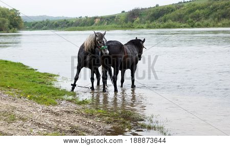 Two nice black horses stands in river. One with chain for legs restraint