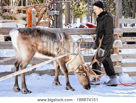 Reindeer Owner And His Reindeer In Winter Farm Lapland