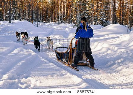 Woman Riding Husky Sledge In Lapland Finland