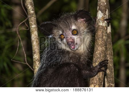 Aye-aye very rare nocturnal lemur of Madagascar
