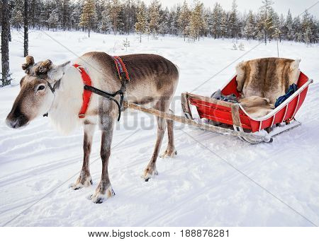 Reindeer Without Horn At Winter Farm In Finnish Lapland