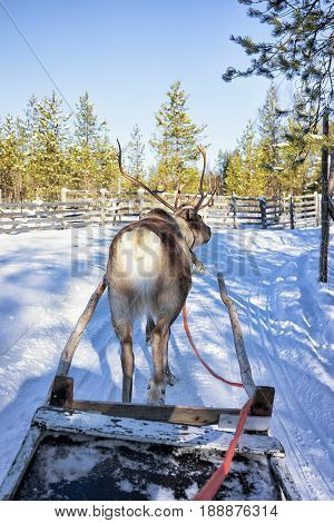 Reindeer Sledge Race At Lapland Finland