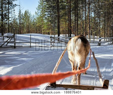 Reindeer Sled Race In Lapland Finland