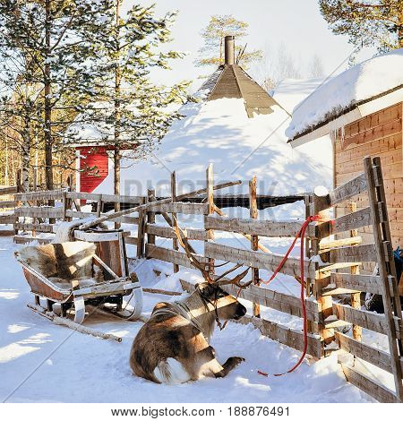 Reindeer On Winter Farm Finland