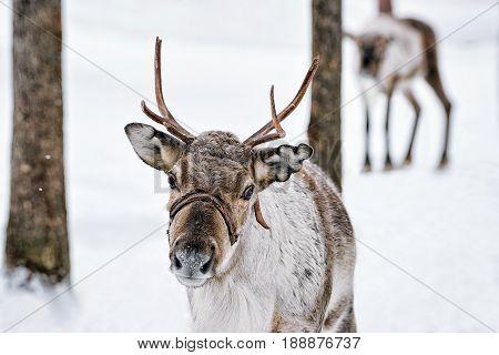 Reindeer In Winter Farm In Lapland