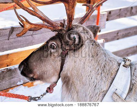 Reindeer In Winter Farm In Lapland Finland