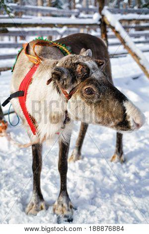 Reindeer In Farm In Winter Finnish Lapland