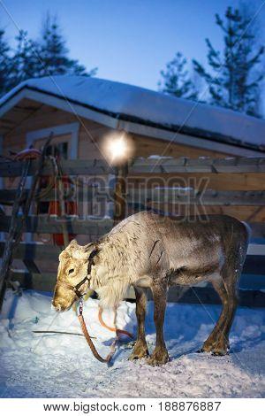 Reindeer In Farm In Lapland Finland