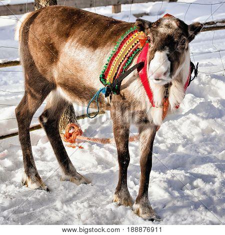 Reindeer In Farm At Winter Finnish Lapland