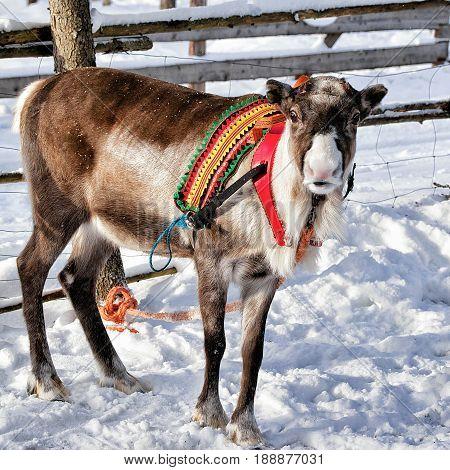 Reindeer At Farm In Winter Lapland Finland