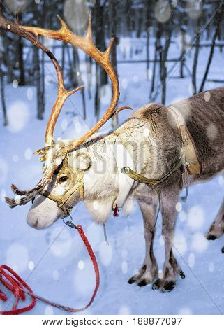 Reindeer At Farm In Lapland Finland Evening Snowfall
