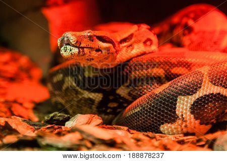 Snake Python Close-up Under Red Light