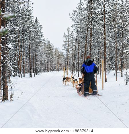 Man And Husky Sledge In Lapland Finland