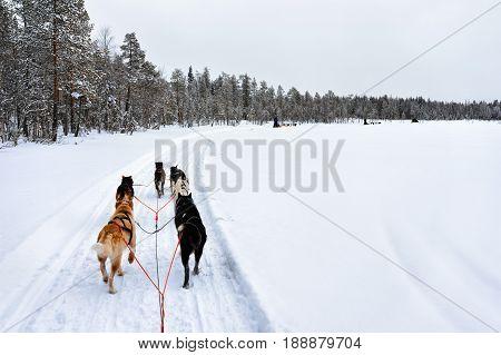 Husky Sledge Lapland Of Finland