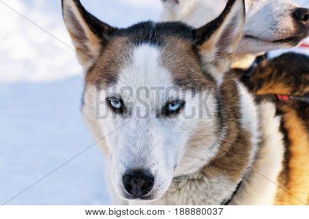 Husky Dog In Sleigh In Lapland Finland