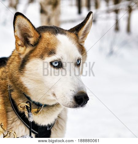 Husky Dog In Sledge In Lapland Finland