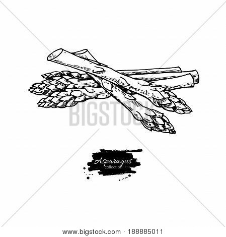 Asparagus hand drawn vector illustration. Isolated Vegetable engraved style object. Detailed vegetarian food drawing. Farm market product. Great for menu, label, icon