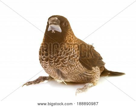 Society finch in front of white background
